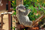 Epicurian Koala chooses only the best leaves!