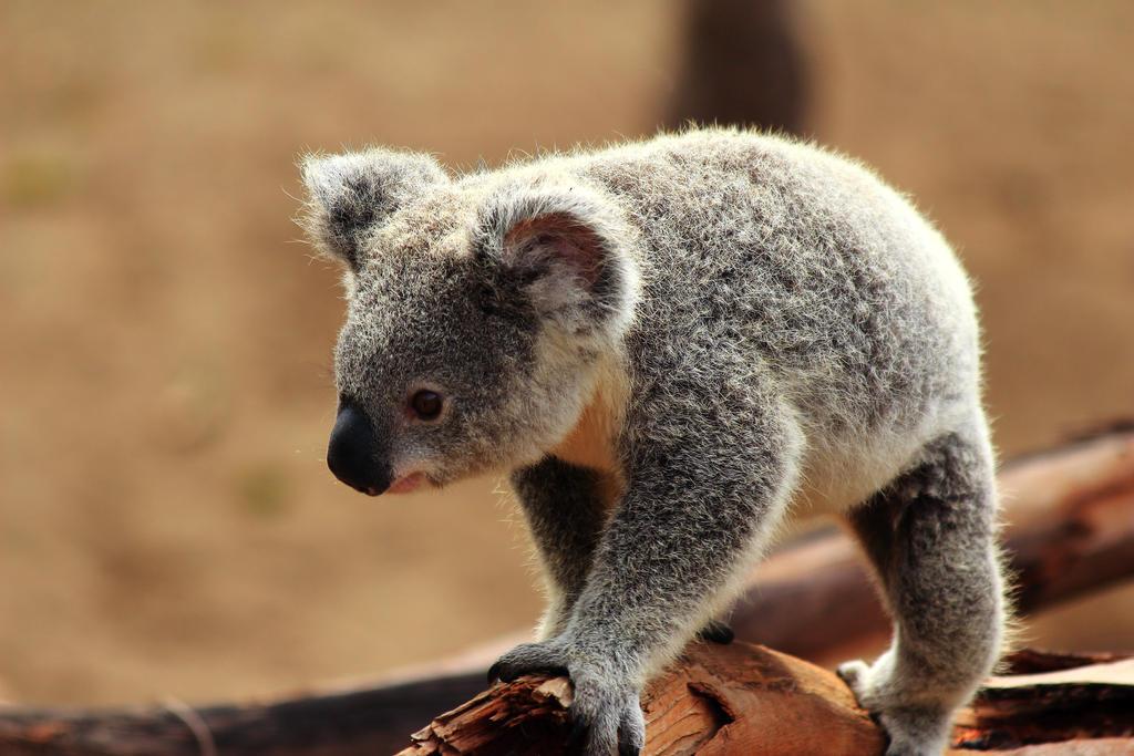 how to buy a koala