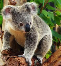 Koala ID by Celem
