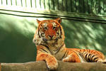 Stock: Tiger at Rest