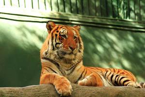 Stock Orange Tiger Reclining by Celem