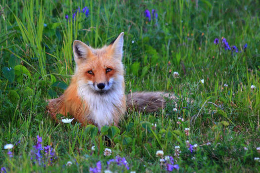 Stock: Fox