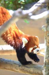 Stock: Red Panda by Celem