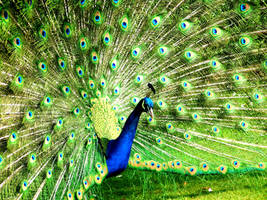 Peacock by Scubaozgirl