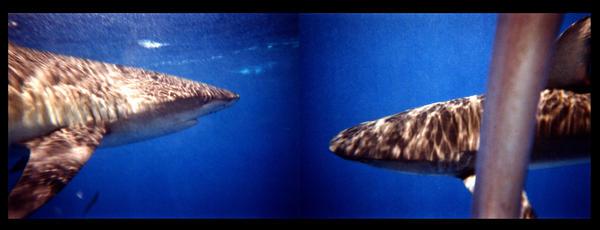Galapagos Sharks by mattlorentz