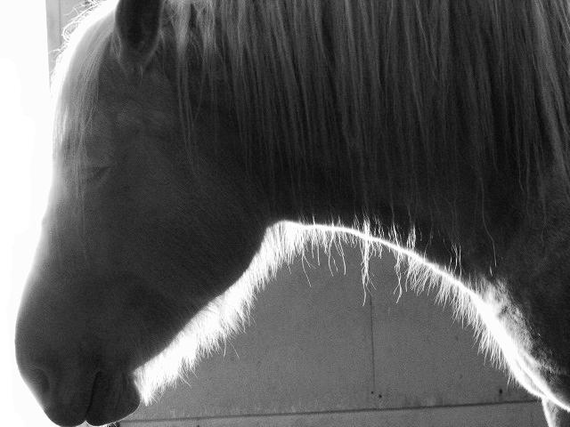 Backlight Shire Horse by HCangel