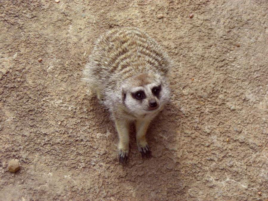 Meerkat looking up at me by HCangel