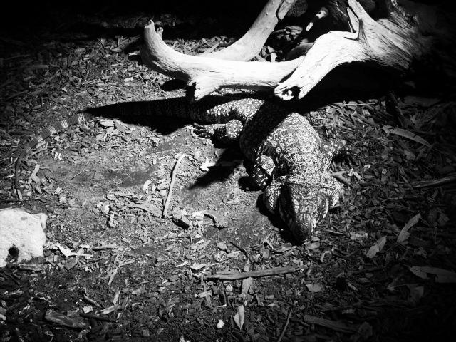Spotlighted Lizard by HCangel