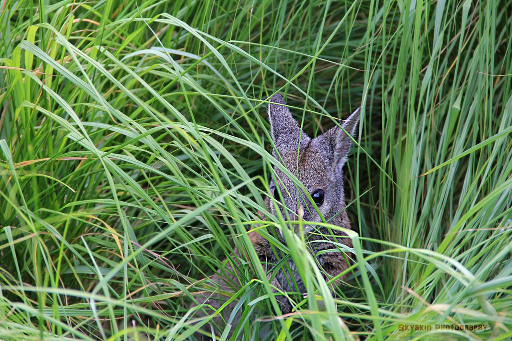A wild wallaby appeared! by HCangel