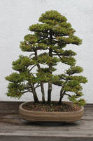 Bonsai Stock #9 by Noireuse