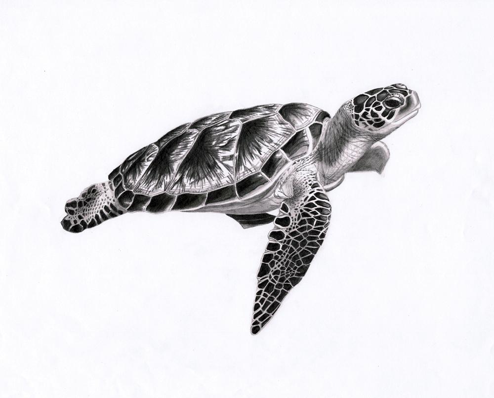 Sea turtle drawing - photo#27