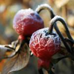 Sugar Frosting by Gerridwen