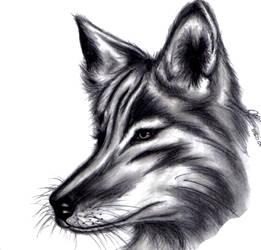 Canis Latrans