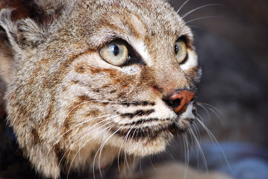 Intent Eyes- Version Bobcat
