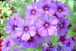 Purple prettys