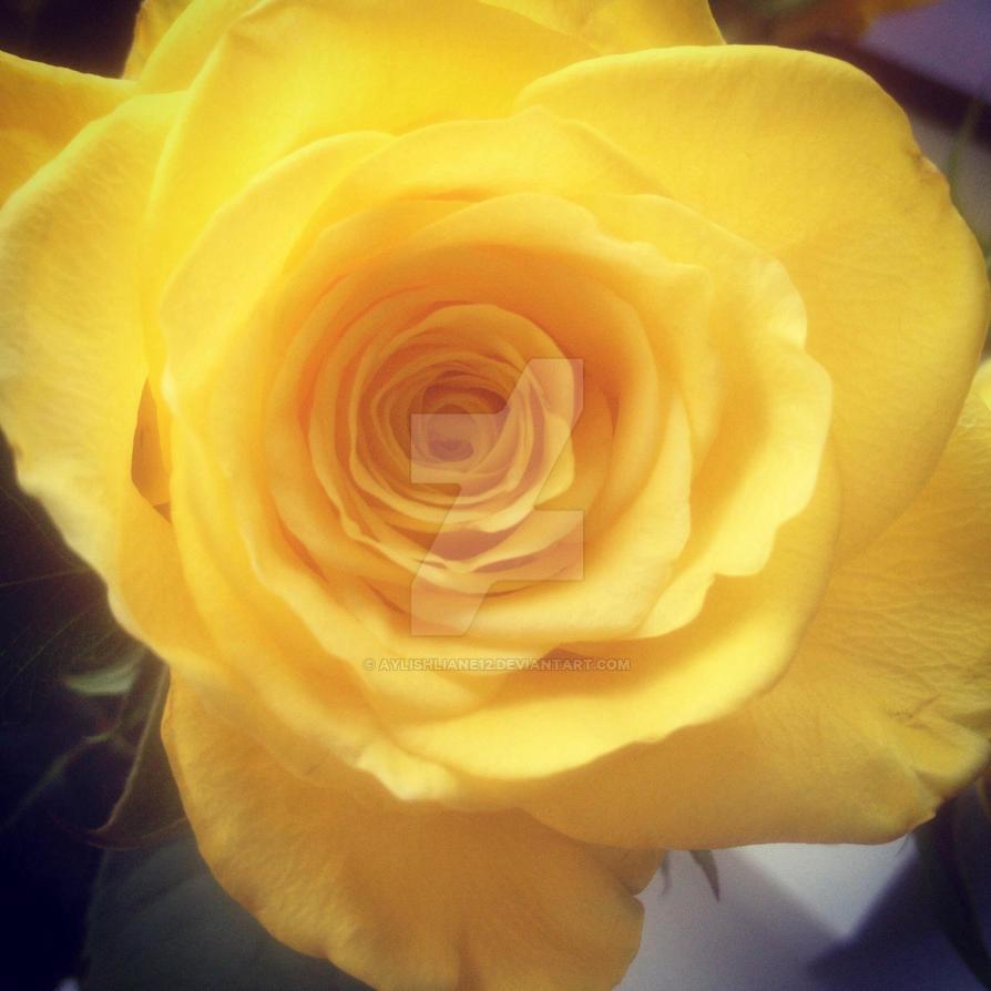 Yellow rose  by Aylishliane12