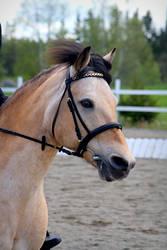 Dun pony