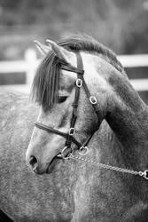 Welsh pony1