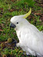 Australian Kakadu by es32