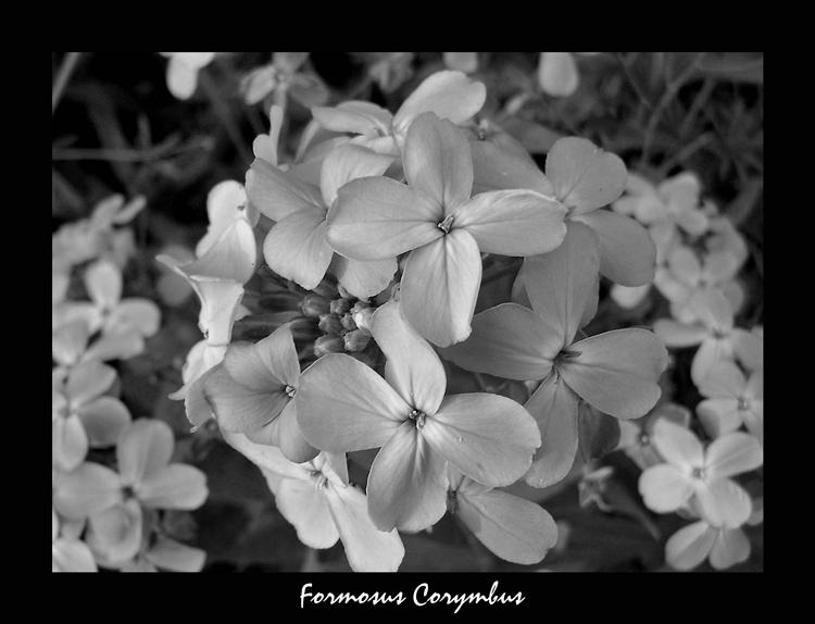 Formosus Corymbus by jwall77