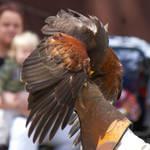 Hawk [STOCK]
