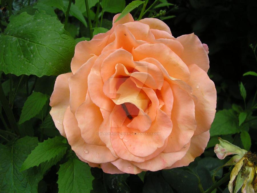 Peach rose by blackroselover