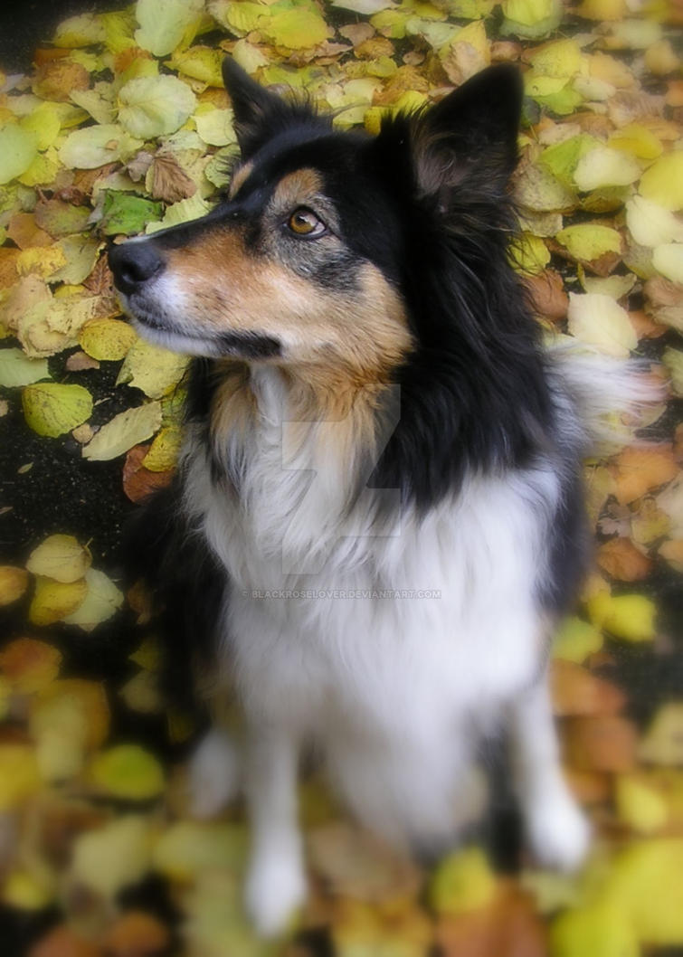 Tess in the leaves1 by blackroselover