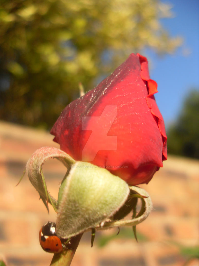 LadyBird on Rose 1 by blackroselover