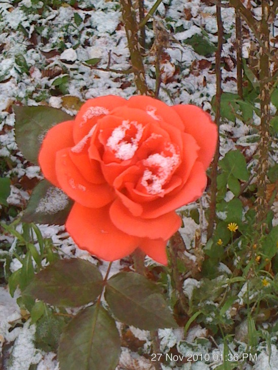 snow rose by blackroselover