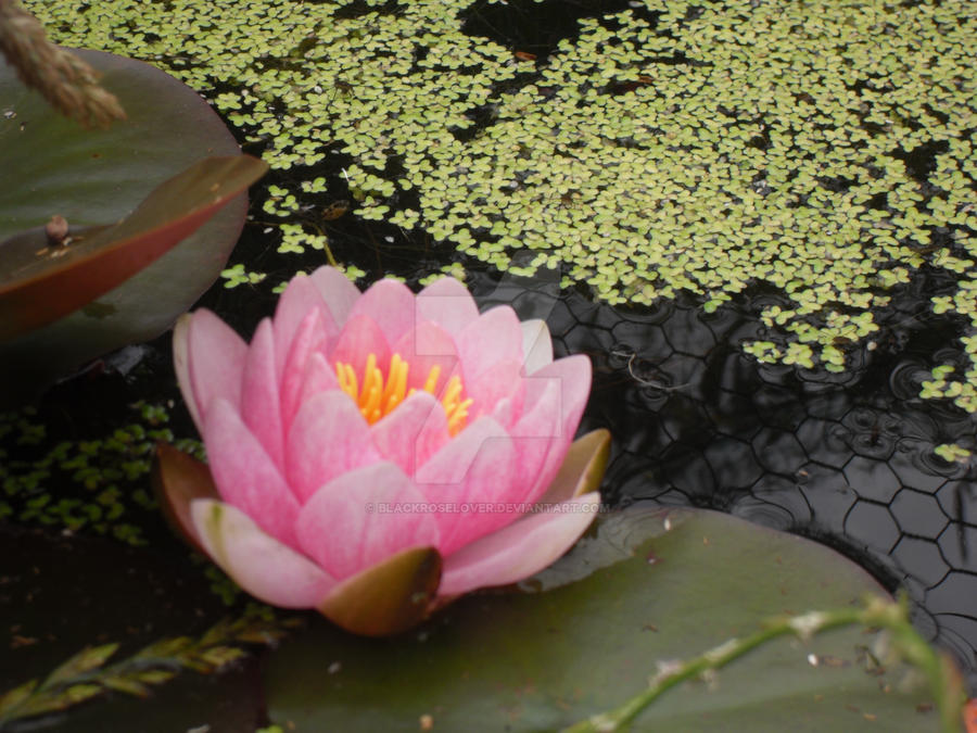 Lilly in the pond by blackroselover