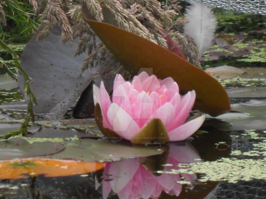 Lilly in pond1 by blackroselover