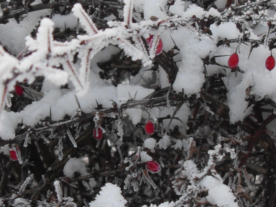 Berries and snow by blackroselover