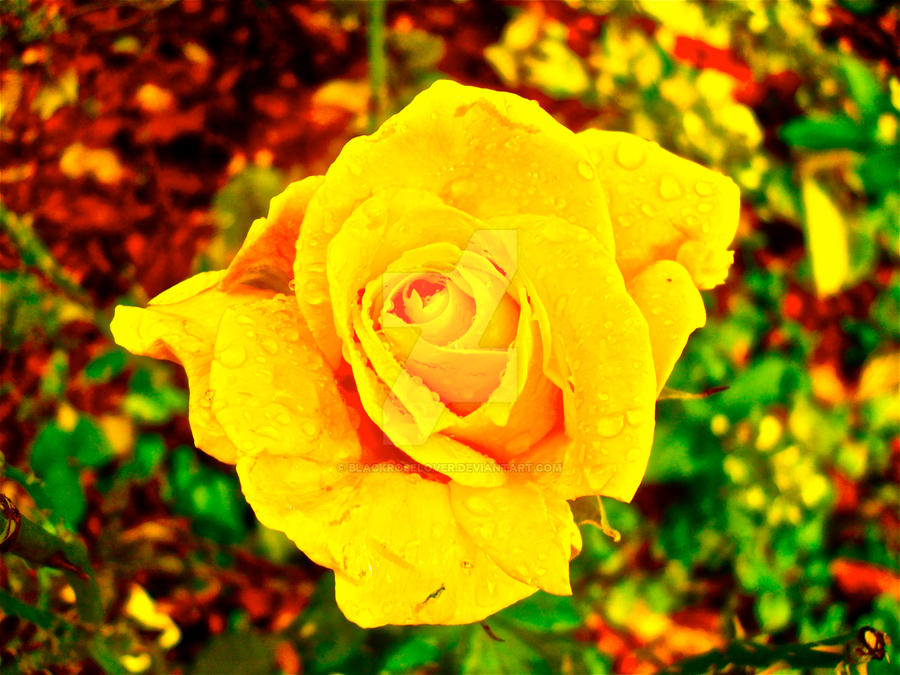 rose edit by blackroselover