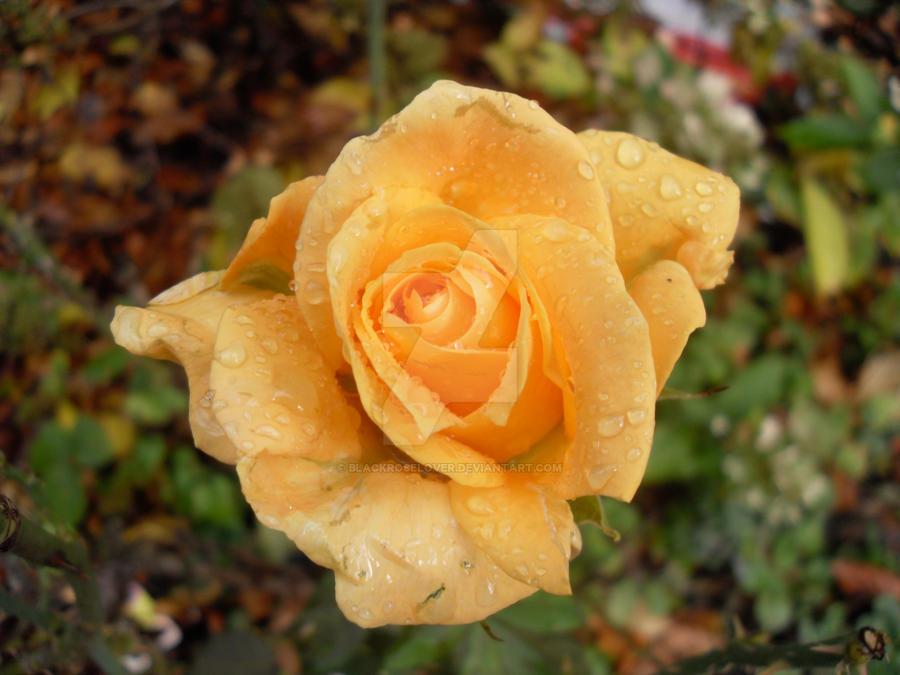 Rose 11 by blackroselover
