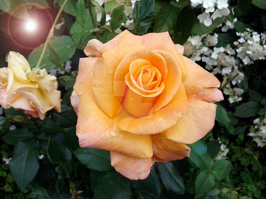Rose Edit 5 by blackroselover