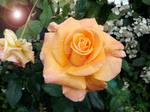 Rose Edit 5