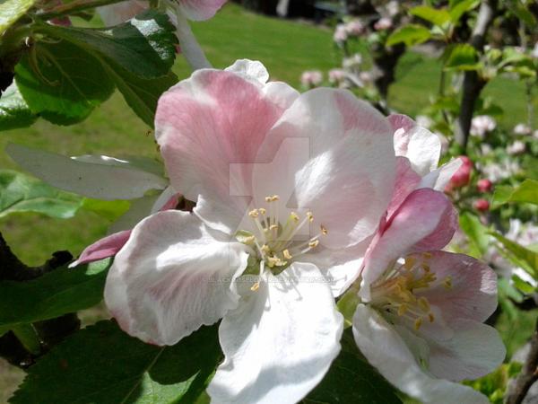 Tree flowers 12 by blackroselover