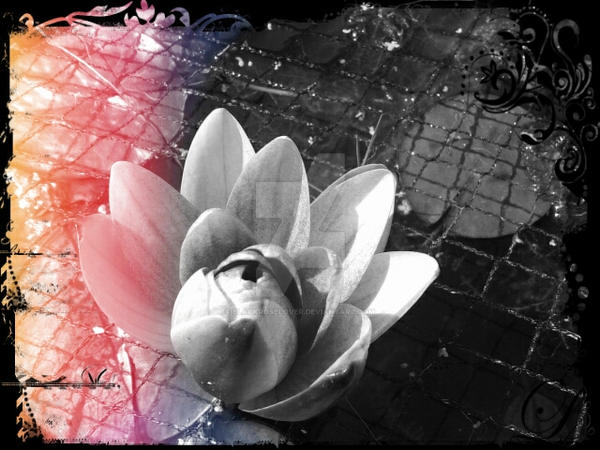 Water Lilly in the pond Edit by blackroselover
