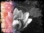 Water Lilly in the pond Edit