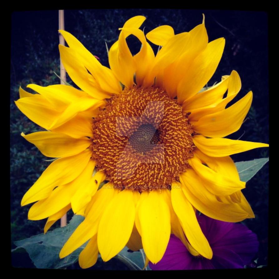 Open up Sunflower by blackroselover