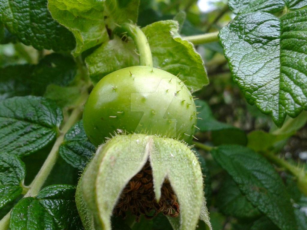 Green Rose Hip by blackroselover