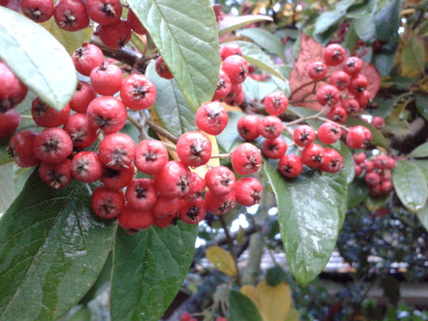 berries 1 by blackroselover