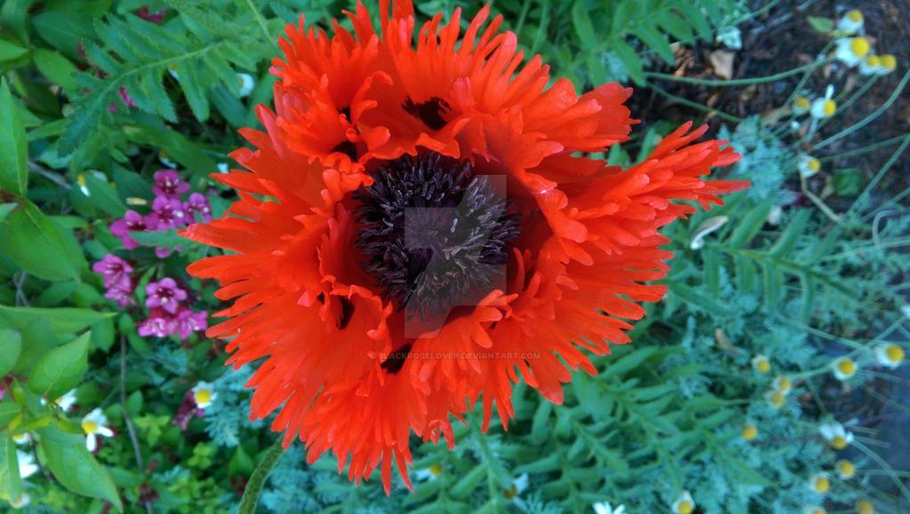 big poppy by blackroselover