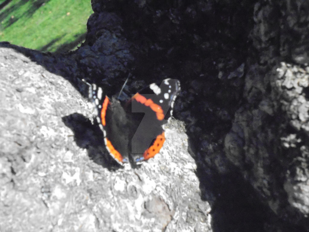 Red Admiral on Tree by blackroselover