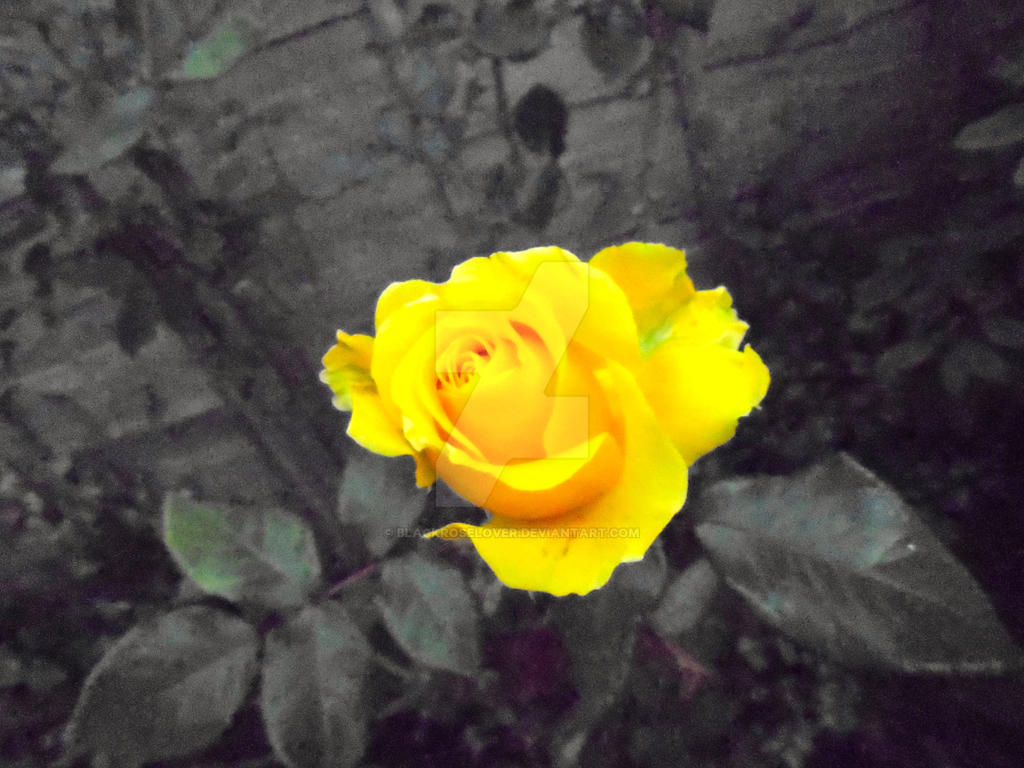 Yellow Rose with grey background by blackroselover