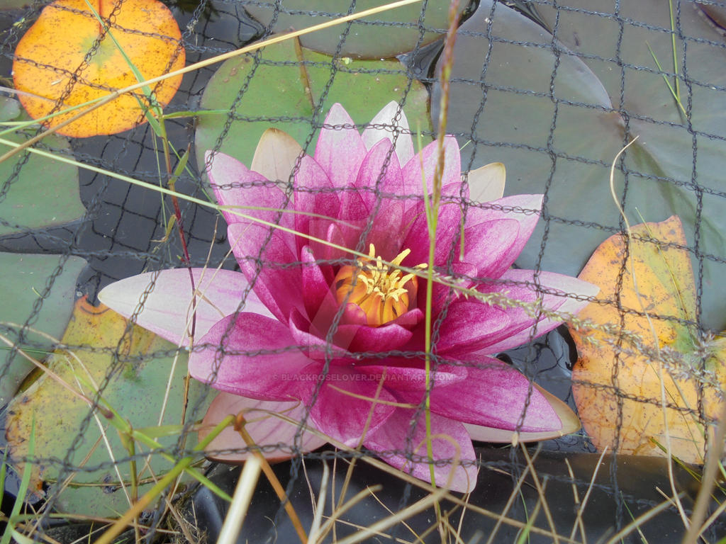 Water Lilly9 by blackroselover