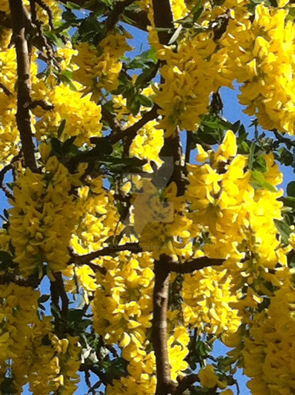 yellow 1 by blackroselover