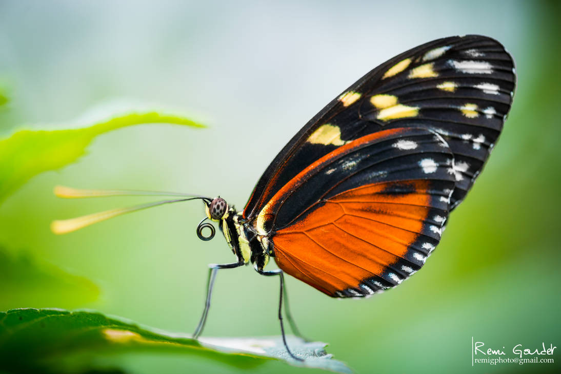 Tiger Longwing Butterfly by RemiGardet
