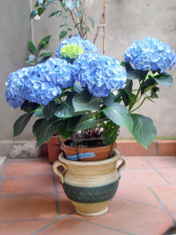 Ortensia blu by mawee79 on deviantart - Ortensia blu ...