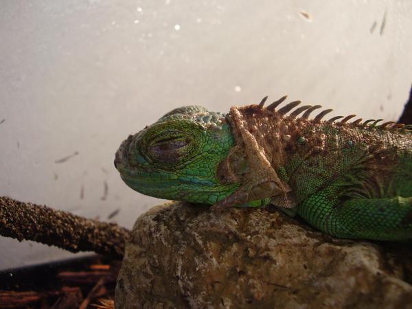 My Iguana sleeping by Eejit13
